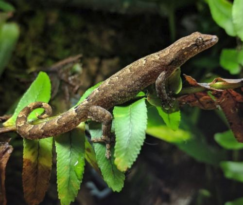 The Ultimate Mourning Gecko Care Guide