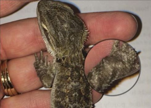 Baby bearded dragon with gout