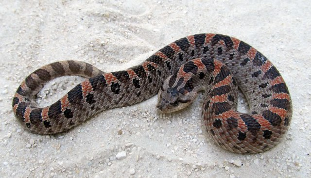 Heterodon Species — H. simus, Southern hognose snake