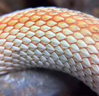 Hognose Snake Health & Diseases