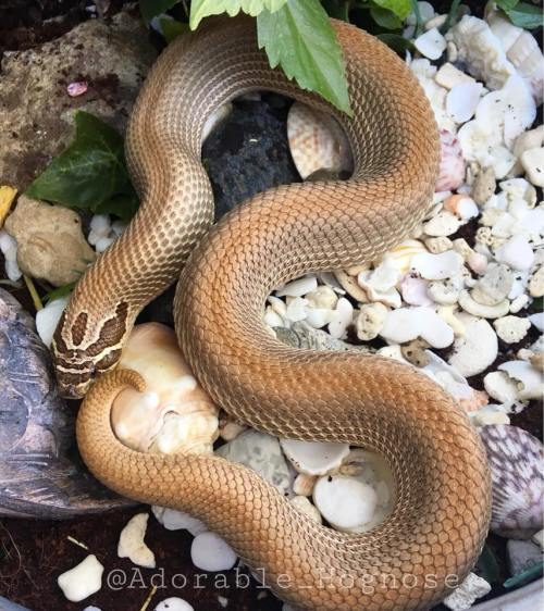 Hognose Substrate Options — hognose morph on naturalistic substrate
