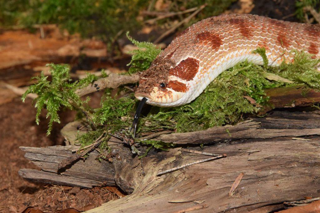 Environmental Enrichment: Decorating Your Hognose Snake Enclosure