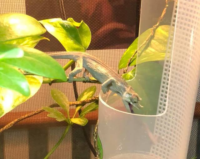 What Do Jackson's Chameleons Eat?