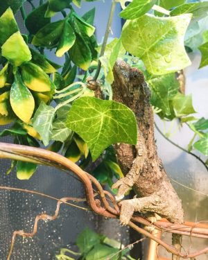 Jackson's Chameleon Humidity — female drinking water
