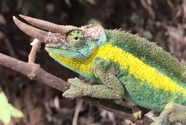 Jackson's Chameleon Subspecies - male Trioceros jacksonii jacksonii