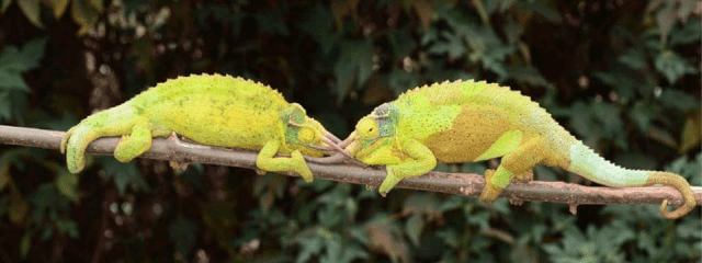 Can You Keep Two Jackson's Chameleons Together?