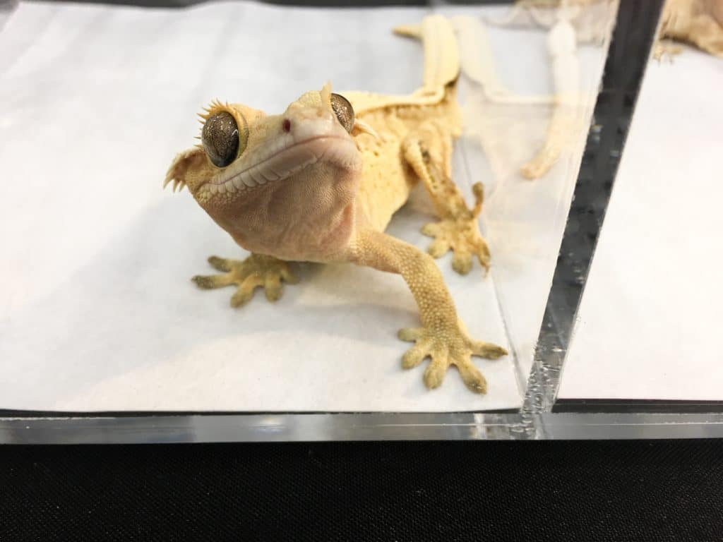 76af1fb7d7 Wasatch Reptile Expo 2018 — Spring s Top 10 Animals!