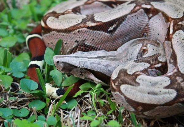 Red-Tailed Boa Care Guide - Photo by David Watson