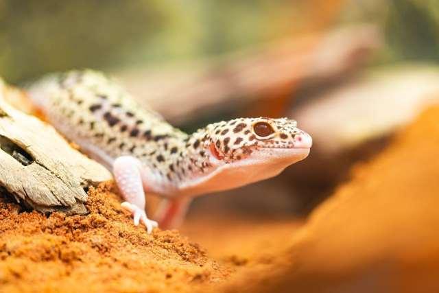 leopard gecko enjoying appropriate reptile UVB
