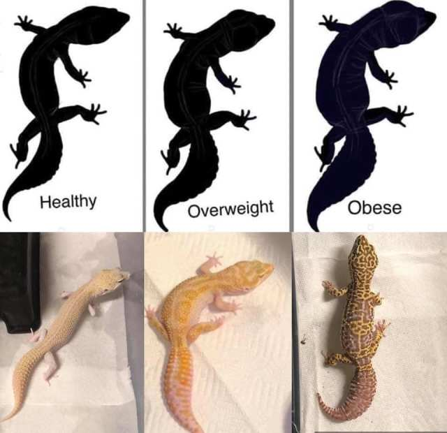 leopard gecko body condition chart