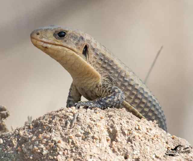 sudan plated lizard care guide featured image - broadleysaurus major