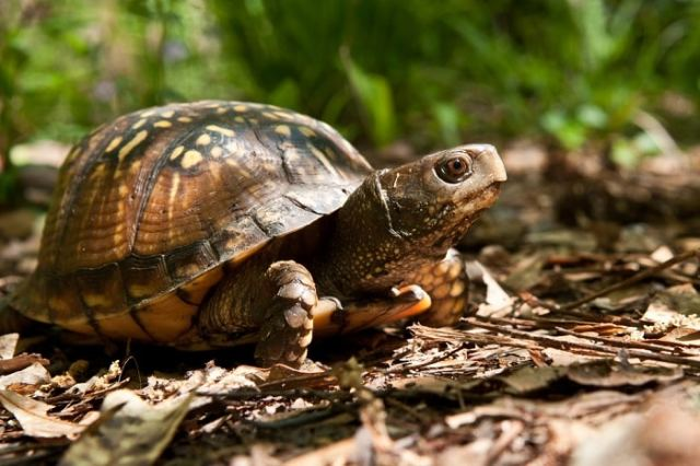 Gulf Coast box turtle - temperate bioactive vivarium maintenance photo