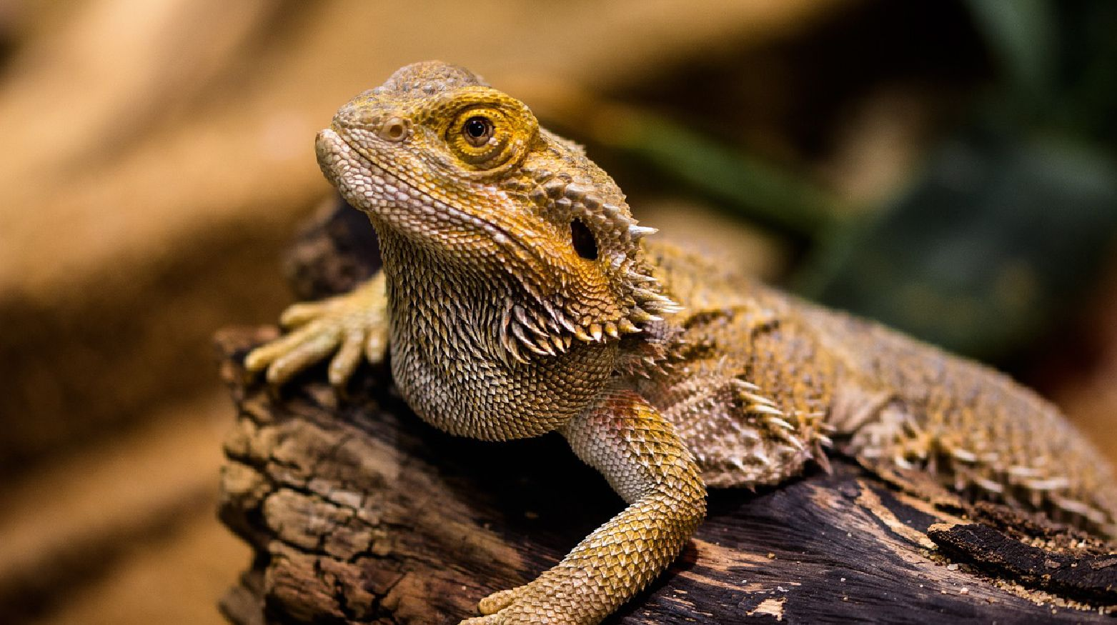 bearded dragon lighting the complete