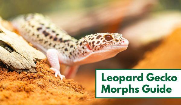 Awesome Leopard Gecko Morphs With