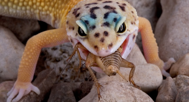 Image result for Feeding your leopard gecko