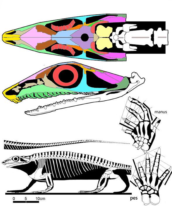 Aerosaurus skeleton reconstruction