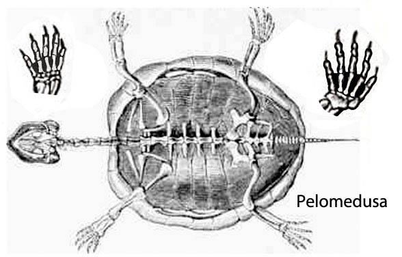 Pelomedusa and Foxemys