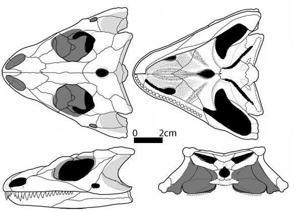 Cranial anatomy of the Permian parareptile (?) Macroleter poezicus