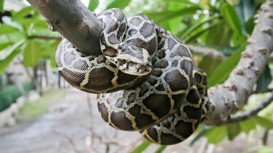 Burmese Python Facts and Pictures   Reptile Fact