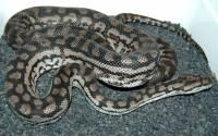 Murray Darling Carpet Python Facts - Carpet Vidalondon