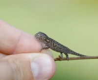 Carpet Chameleon Facts and Pictures | Reptile Fact