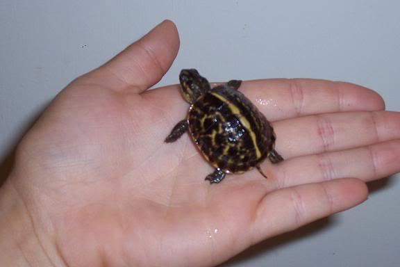 Cute Baby Lizards Wallpaper Florida Box Turtle Facts And Pictures Reptile Fact