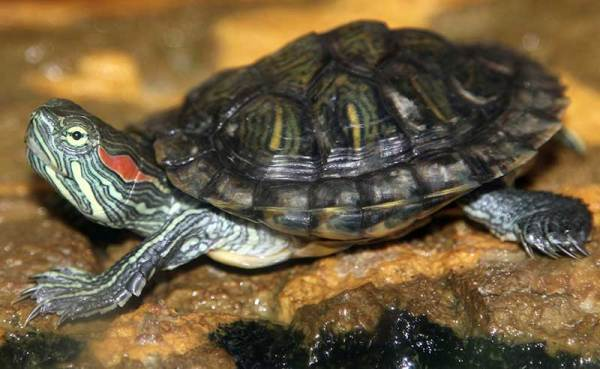 Redeared Slider Facts and Pictures Reptile Fact