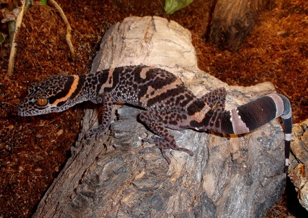 Chinese Cave Gecko Facts and Pictures