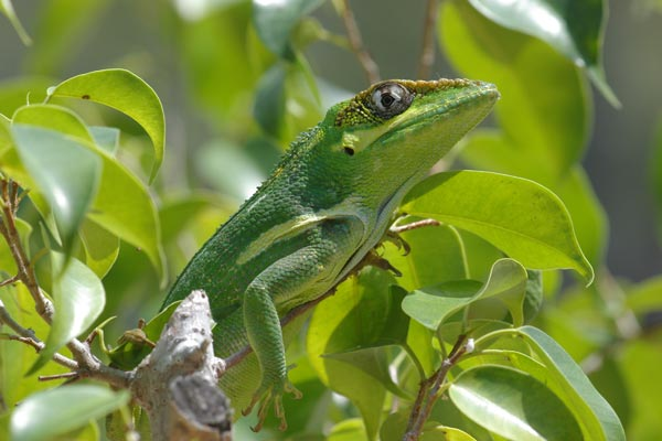 Knight Anole Facts and Pictures