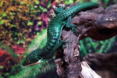 Abronia Graminea Facts and Pictures