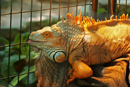 Image result for How large should your iguana's enclosure be?