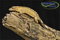 Crested Gecko Care Sheet - Reptiles by Mack