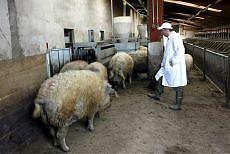 """""""Allevamenti intensivi incubatori di virus"""" la denuncia di Legambiente e veterinari"""