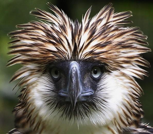 Filippine, l'aquila rara dalla cresta spettinata