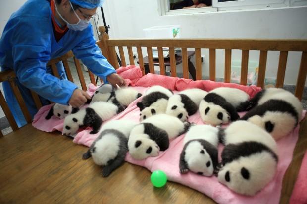 Cina, i cuccioli di panda nella nursery