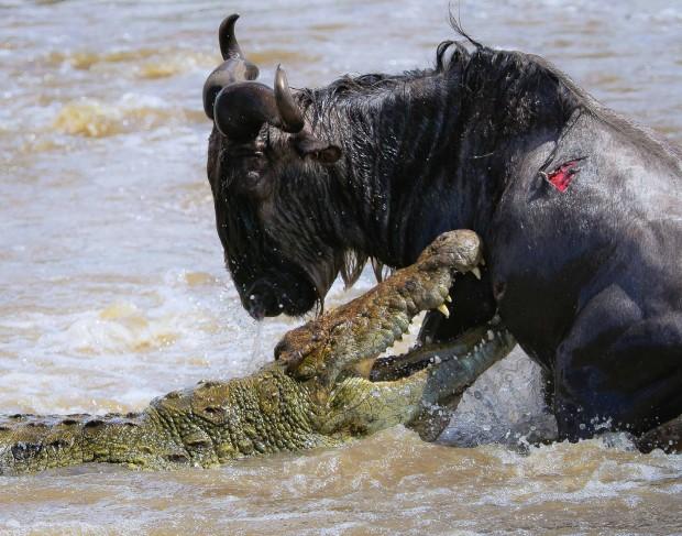 Kenya coccodrillo allattacco di uno gnu  5 di 16  Repubblicait