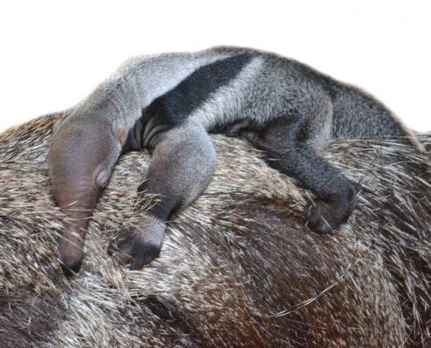 Il sonno del piccolo formichiere