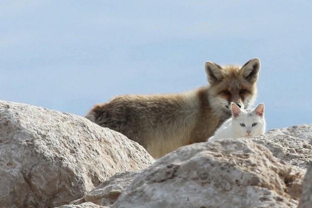 """""""Quanta fretta, ma dove corri?"""": gatto e volpe compagni di gioco"""