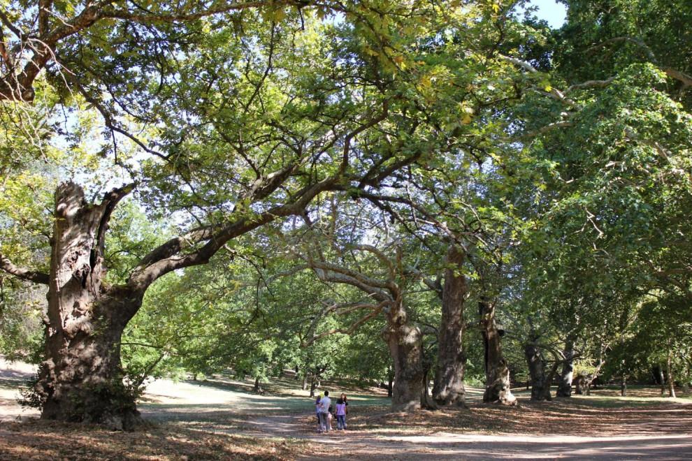 Quegli alberi sono monumenti, lo Stato li protegge