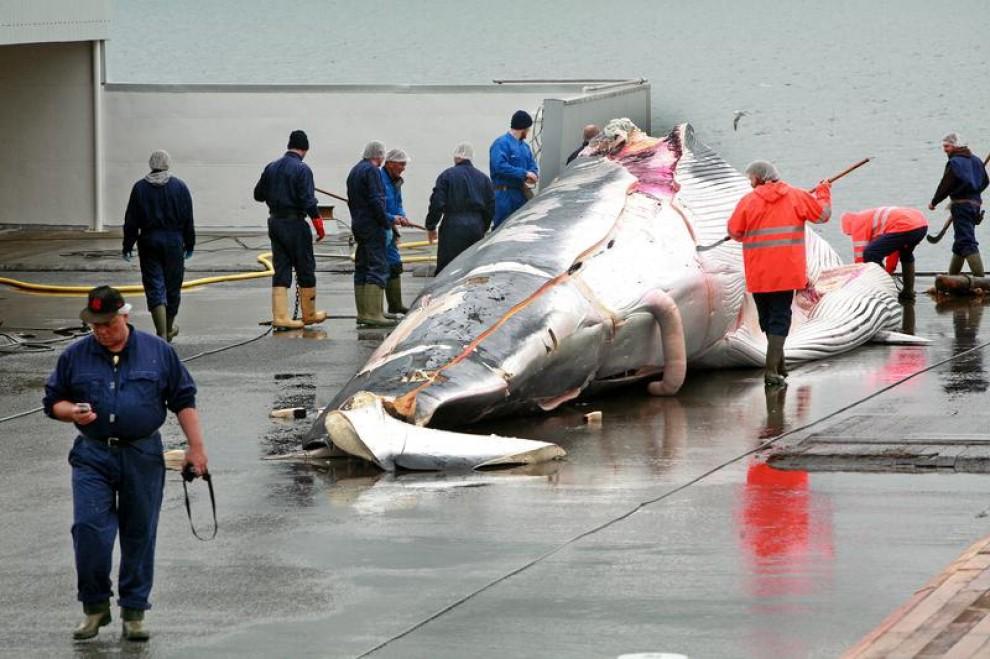 Islanda, torna la caccia alle balene: Greenpeace denuncia la prima vittima