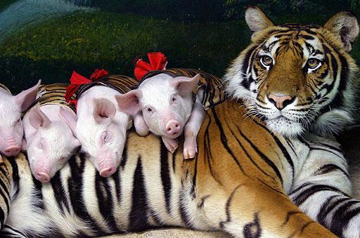 Risultati immagini per maialini con la mamma
