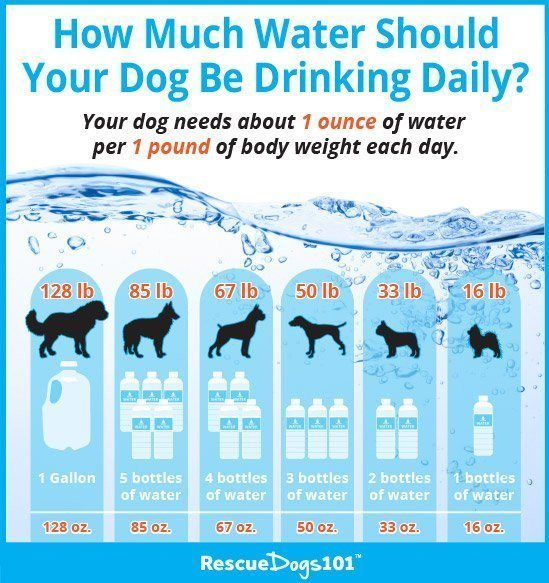 11 Great Ideas on How to Get Your Dog to Drink More Water