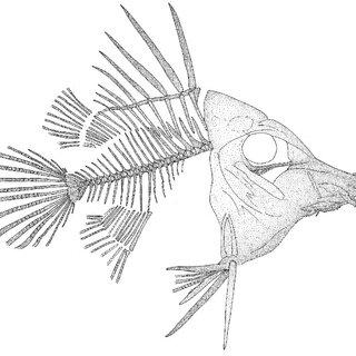 -Veronarhamphus canossae (Heckel, 1856), photograph of the