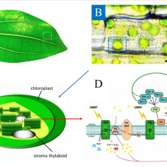 Inside Of A Leaf Diagram Wiring For 99 Jeep Grand Cherokee Typical Plant B Chloroplasts The Cells Download Scientific