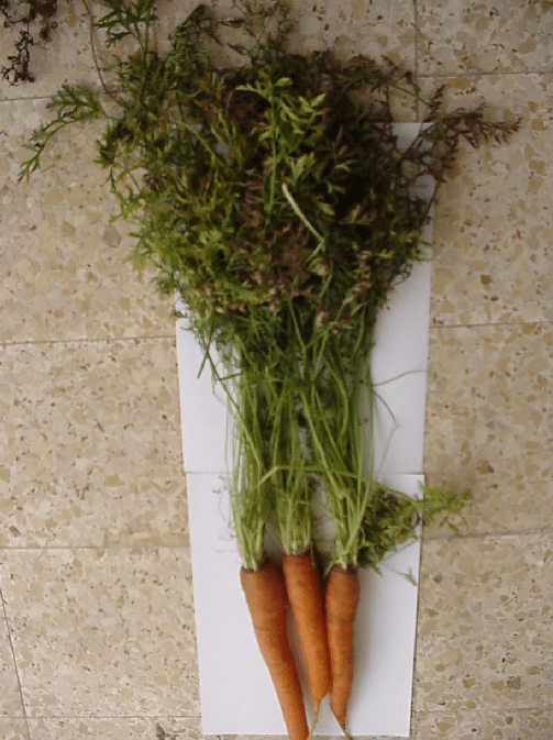 carrot plant diagram floor of mouth 18825 movieweb