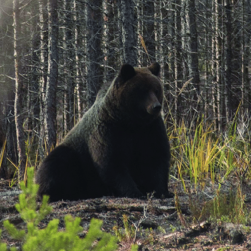 brown bear diagram 2016 ford fiesta radio wiring west siberian photo by bulyonkova t m download