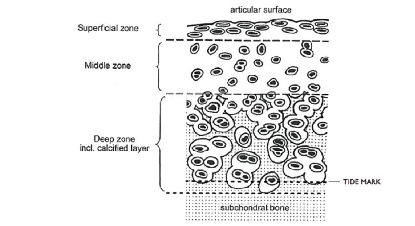 synovial tissue diagram