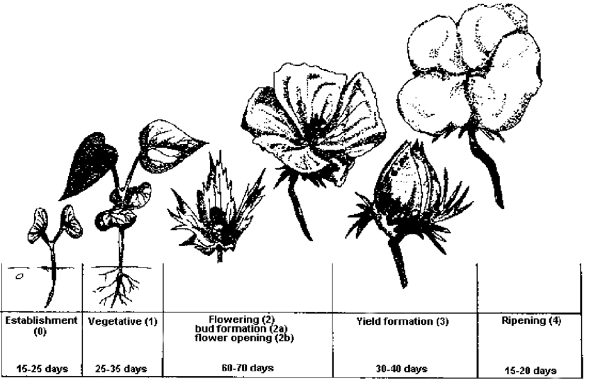 The developmental stages of the cotton plant (taken from