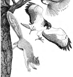 female short tailed hawk driving an apache fox squirrel from the nest download scientific diagram [ 850 x 1126 Pixel ]