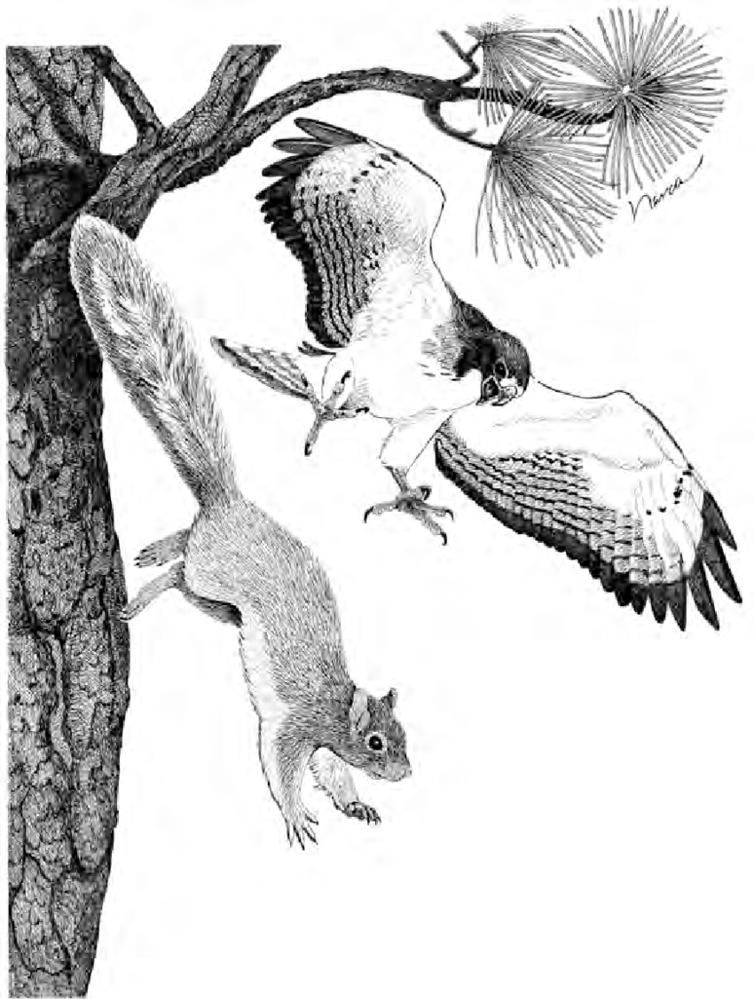 hight resolution of female short tailed hawk driving an apache fox squirrel from the nest download scientific diagram